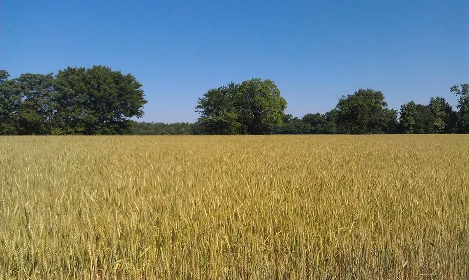 Wheat Dries in the Field