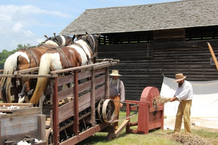 Threshing the old way.